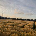 黄金に輝く麦